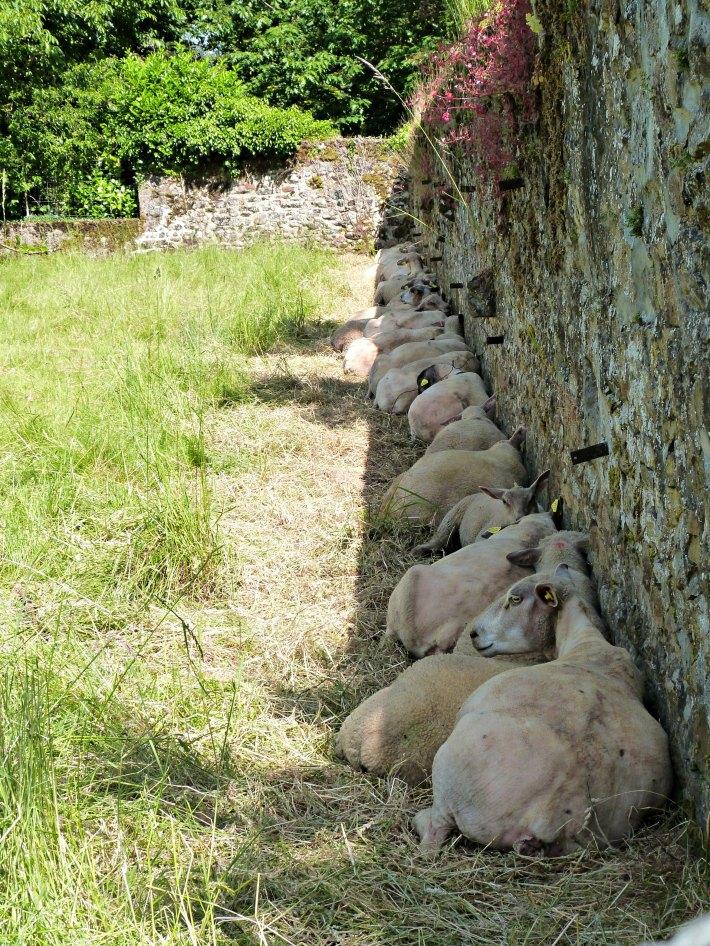 Moutons à l'ombre (ce qu'il en reste) du mur
