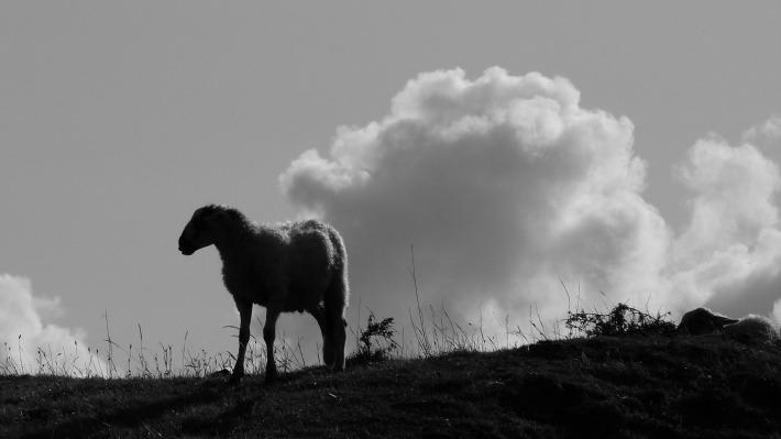 mouton_contrejour