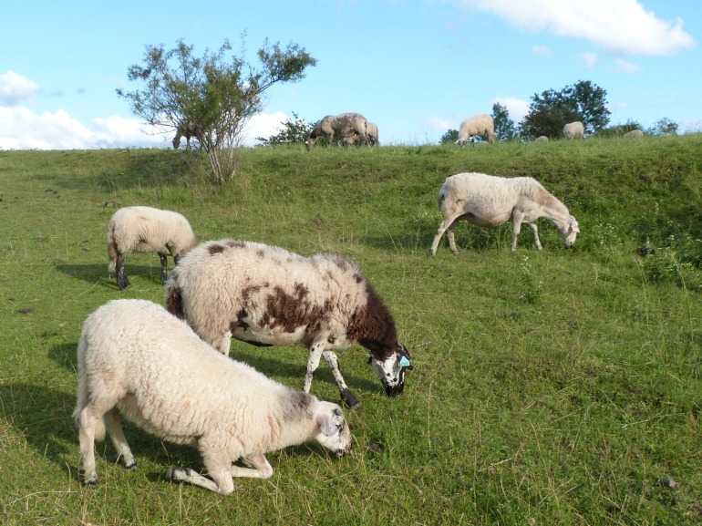 moutons-genoux