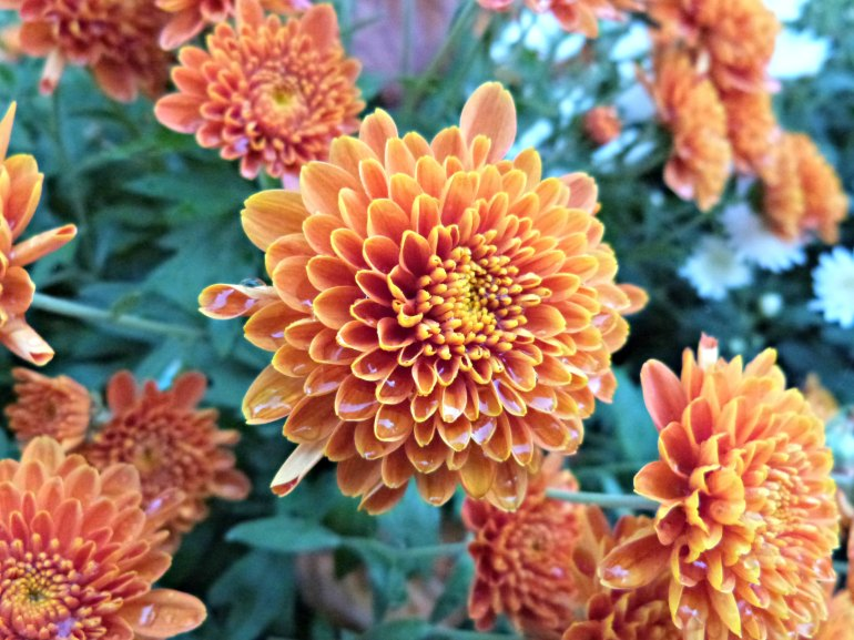 chrysantheme_orange