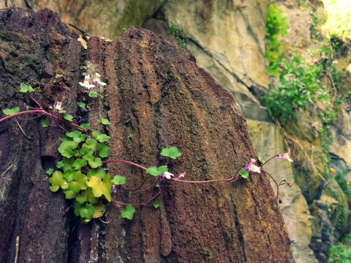 Bombe volcanique colonisée par de jolies petites fleurs