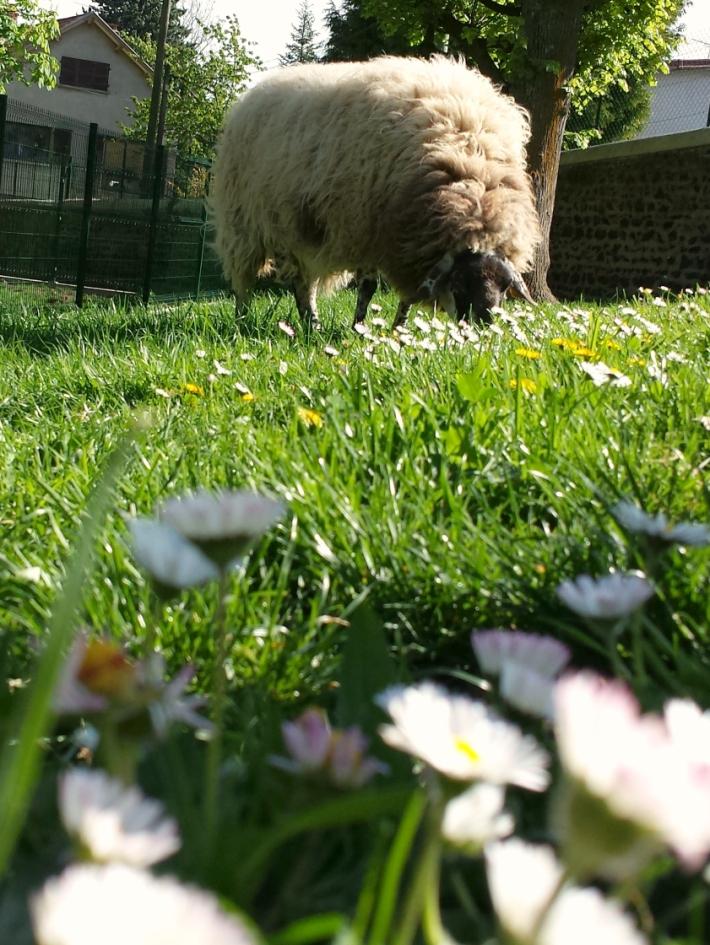 mouton_bargoin