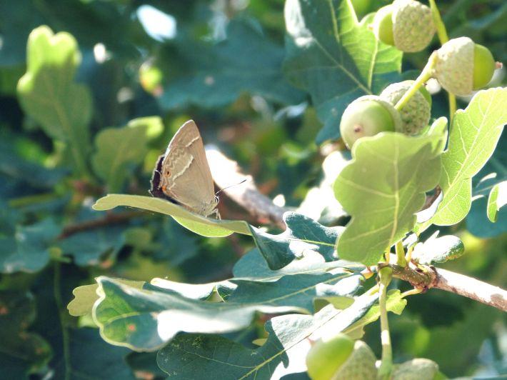 papillon_glands