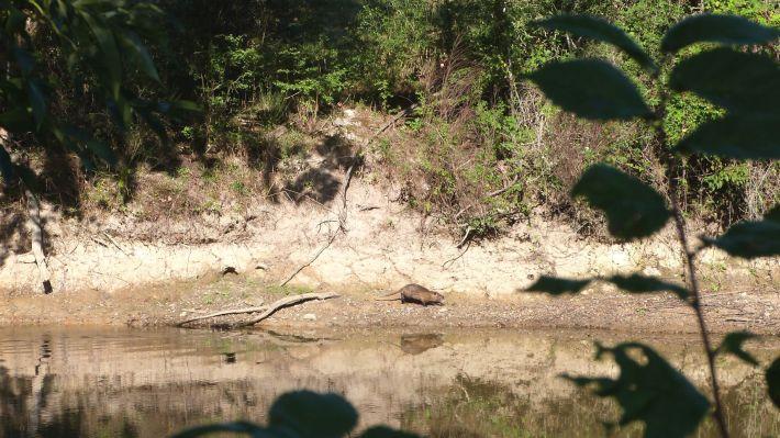 Première rencontre avec la faune locale, une famille de ragondins !