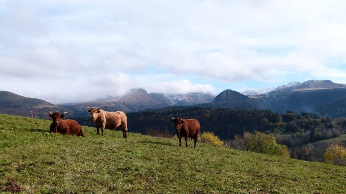 vaches_sancy