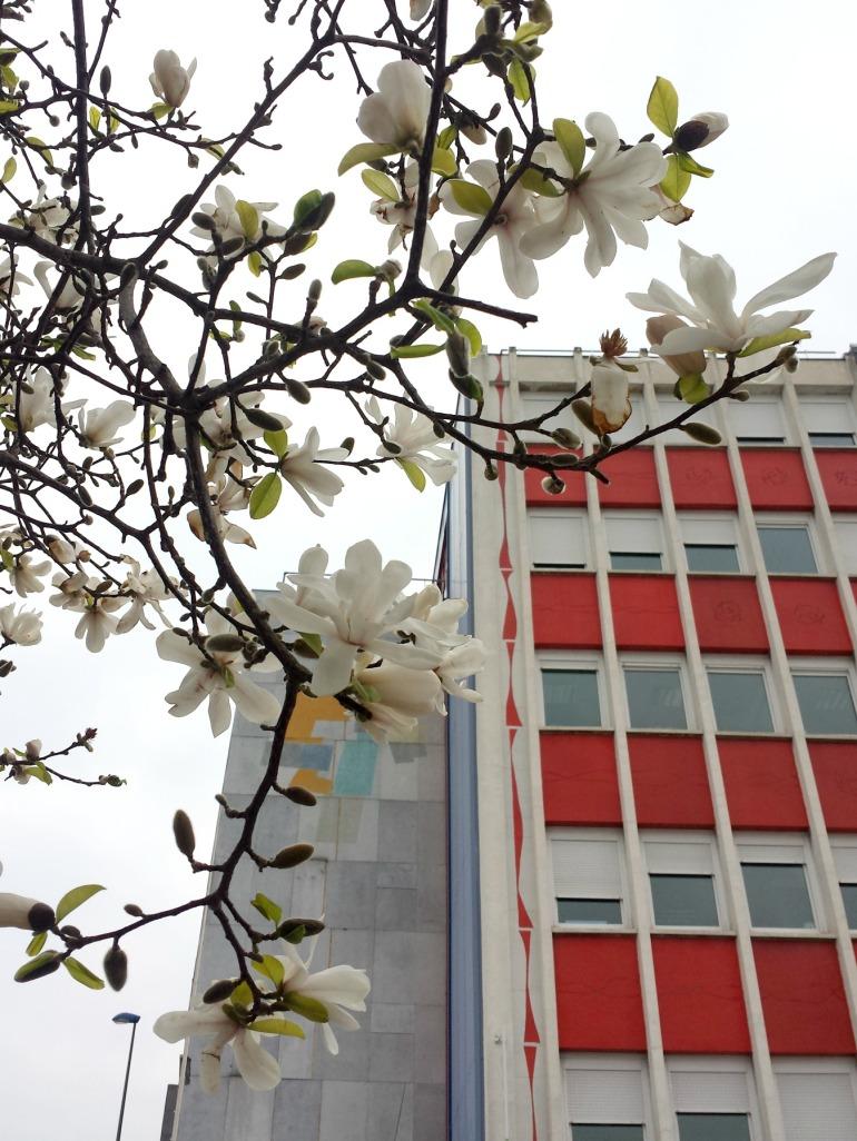 magnolia_vigneron