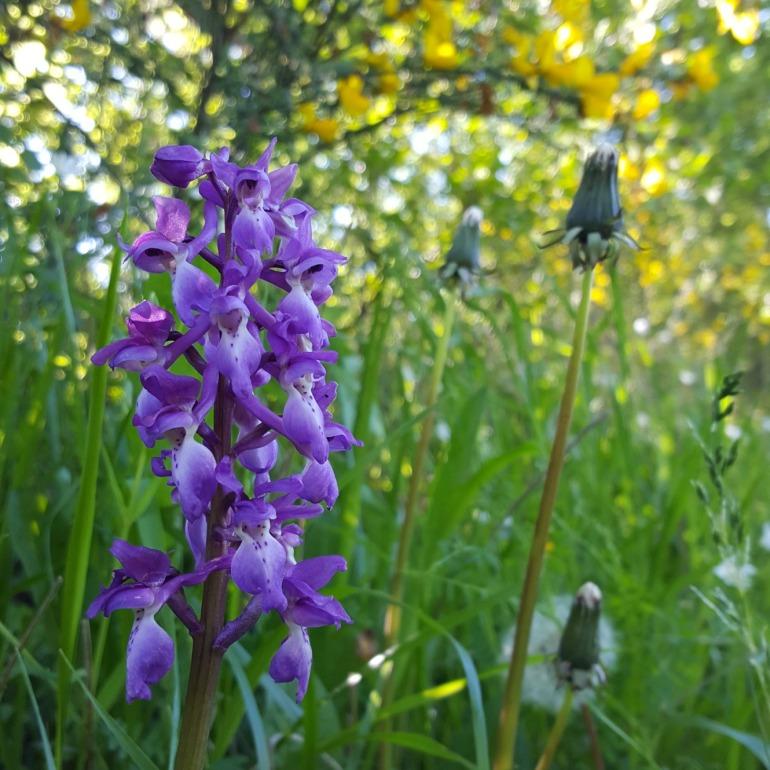 orchidee_jussat_2