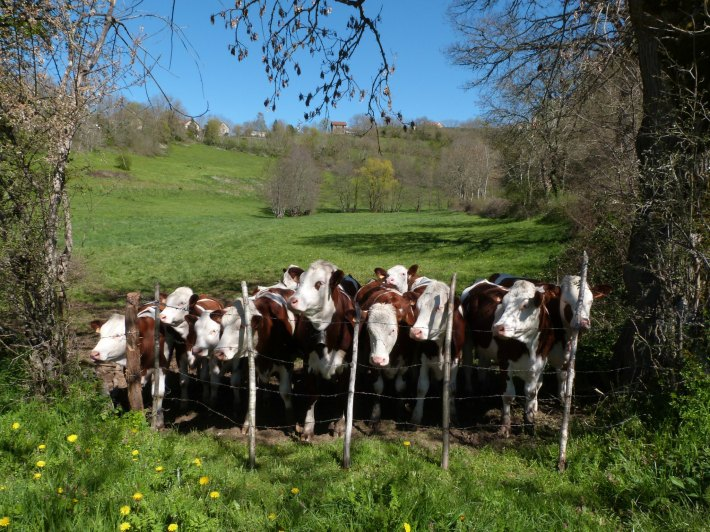 vaches_groupe