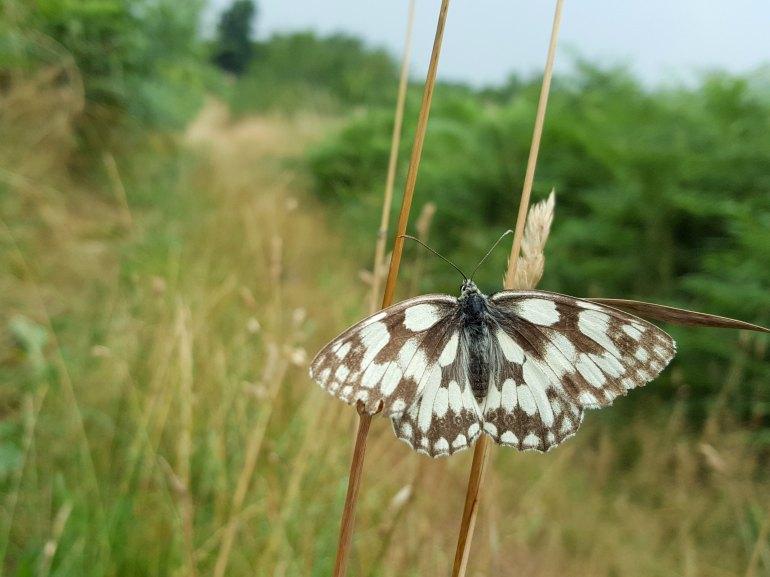 papillon_madet