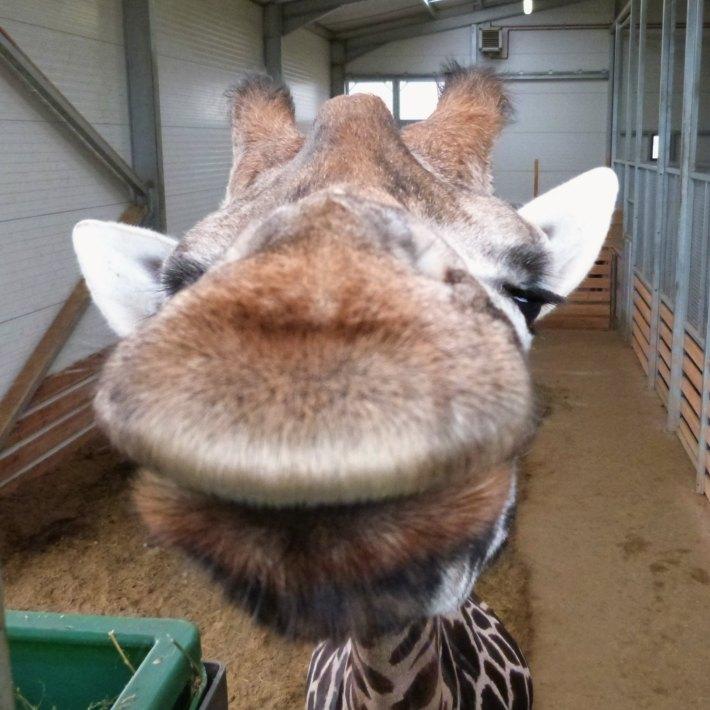 girafes2