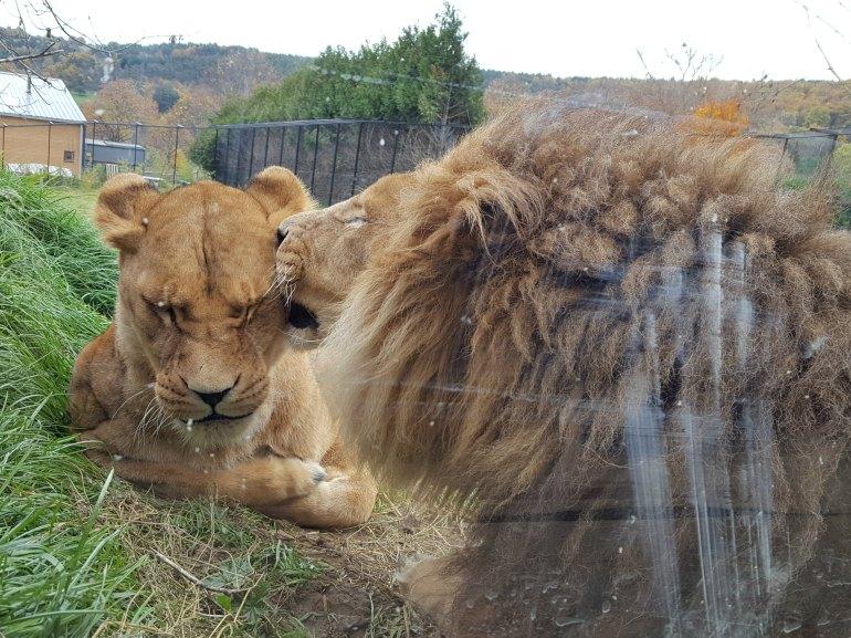 lion_ardes