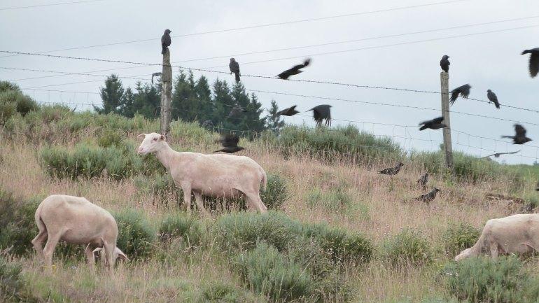 moutons3_noisettes