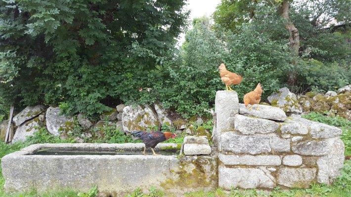 poules_noisettes