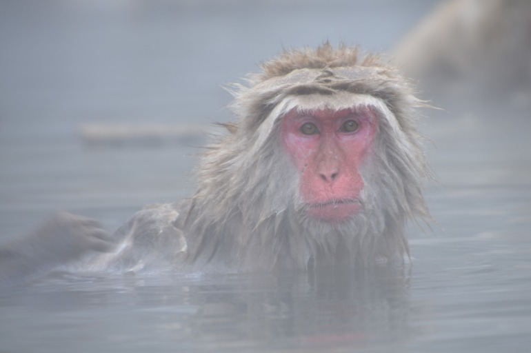 snow-monkey-hammam